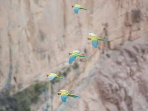 Red-Fronted Macaws, Ara Rubrogenys, in Flight Through Canyons in Torotoro National Park by Alex Saberi
