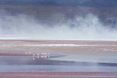 Salt Dust Shrouds James' Flamingos Foraging in Laguna Colorada