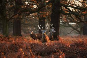 Three Red Deer, Cervus Elaphus, Standing in London's Richmond Park by Alex Saberi
