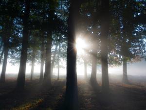 Trees in the Autumn Mist in Richmond Park by Alex Saberi