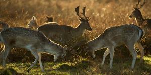 Two Fallow Deer, Dama Dama, Fighting in London's Richmond Park by Alex Saberi