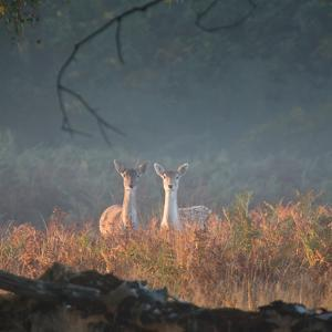 Two Fallow Deer Females, Dama Dama, in Early Morning Haze in Richmond Park by Alex Saberi