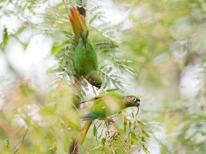 Two Maroon-Bellied Parakeets Feeding in a Tree in Ubatuba, Brazil by Alex Saberi