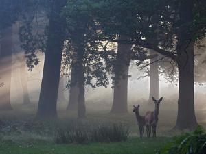 Two Red Deer, Cervus Elaphus, Wander Through the Mist in Autumn by Alex Saberi