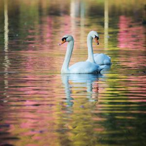 Two Swans Float on a Colorful Reflective Lake by Alex Saberi