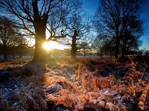 Winter Bracken in Richmond Park by Alex Saberi