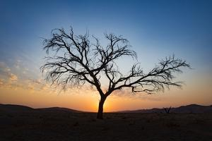 Acacia Tree Near Dune 45 in the Namib Desert at Sunset, Sossusvlei, Namin-Naukluft Park by Alex Treadway
