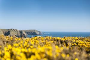 Gorse covered cliffs along Cornish coastline, westernmost part of British Isles, Cornwall, England by Alex Treadway