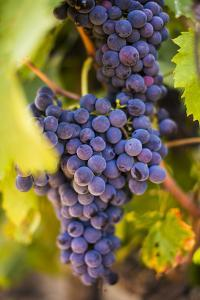 Grapes Ripening in the Sun at a Vineyard in the Alto Douro Region, Portugal, Europe by Alex Treadway