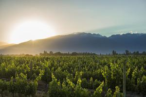 Malbec vineyards at the foot of the Andes in the Uco Valley near Mendoza, Argentina, South America by Alex Treadway