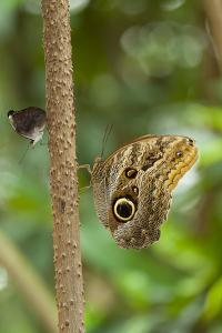 2 butterflies, on the left-hand side small beauties, Colobura dirce, to the right of banana butterf by Alexander Georgiadis