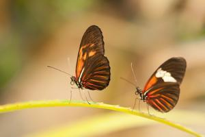 2 butterflies passion flower butterfly, Heliconius, on leaves by Alexander Georgiadis
