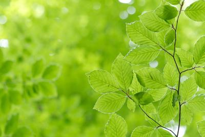 Beech Leaves, Branch, Close-Up