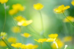 Buttercup, Blossoms, Close-Up by Alexander Georgiadis