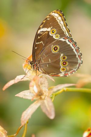 Butterfly, blue Morpho, Morpho peleides, holds on to leaves