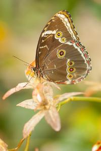 Butterfly, blue Morpho, Morpho peleides, holds on to leaves by Alexander Georgiadis