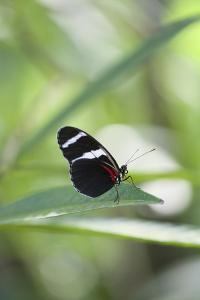 Butterfly, Doris Passionsfalter, Heliconius Doris, sits on leaves by Alexander Georgiadis