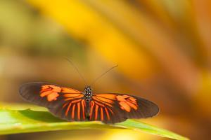 Butterfly passion flower butterfly, Heliconius, sits on leaves by Alexander Georgiadis