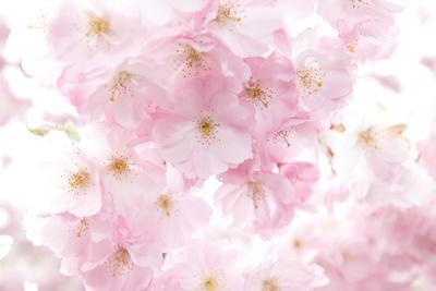 Cherry Tree, Blossoms, Pink, Close-Up