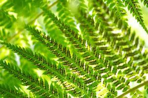 Fern in Sunlight, Close-Up, Dicksoniaceae, Dicksonia Squarrosa, New Zealand by Alexander Georgiadis