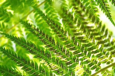 Fern in Sunlight, Close-Up, Dicksoniaceae, Dicksonia Squarrosa, New Zealand