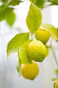Lemon Tree, Detail, Fruits by Alexander Georgiadis
