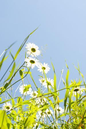 Marguerites, Leucanthemum Vulgare, from Below, to Blue Heaven