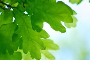 Oak Leaves, Medium Close-Up by Alexander Georgiadis