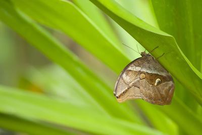 owl butterfly, Caligo eurilochus, holds on to leaves