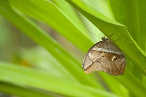 owl butterfly, Caligo eurilochus, holds on to leaves by Alexander Georgiadis