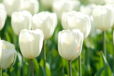 Tulips, Blossoms, White, Sunlight