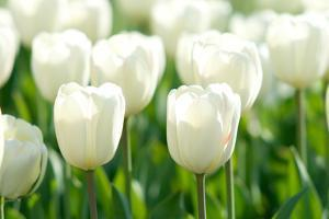 Tulips, Blossoms, White, Sunlight by Alexander Georgiadis