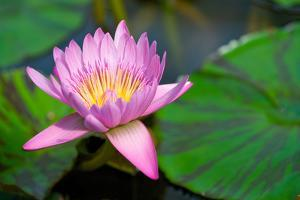 Water Lily, Blossom, Pink, Leaves, Detail, Blur by Alexander Georgiadis