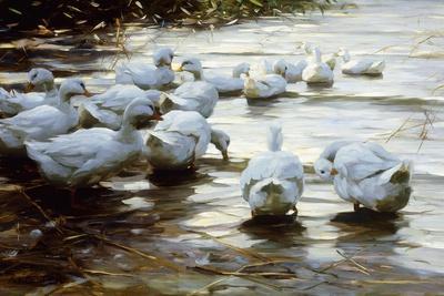 Ducks in Shallow Water Reed; Enten in Flachem Schilfwasser