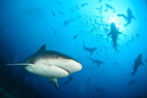 Beqa Shark Labs by Alexander Safonov