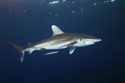 Oceanic Whitetip Shark by Alexander Semenov