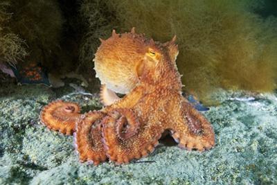 Octopus, Japan by Alexander Semenov