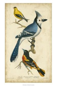 Wilson's Blue Jay by Alexander Wilson