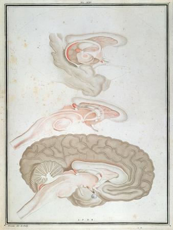 Cross-Section of the Brain, from 'Traite D'Anatomie Et De Physiologie' by Felix Vicq D'Azyr