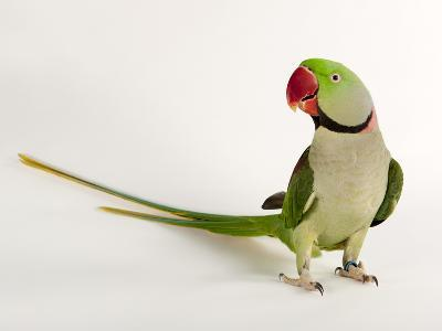 Alexandrine Parakeet, Psittacula Eupatria-Joel Sartore-Photographic Print