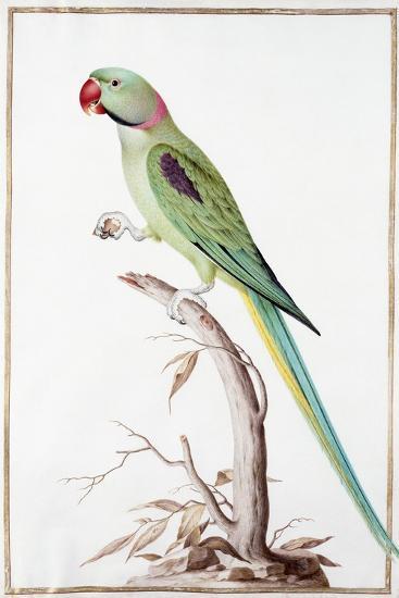 Alexandrine Parakeet-Nicolas Robert-Giclee Print