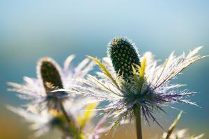 Alpine Sea Holly, Eryngium Alpinum, Detail by Alfons Rumberger