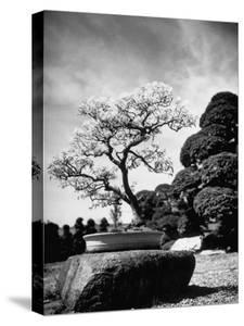 110 Year Old Bonsai Maple Tree on Estate of Collector Keibun Tanaka in Suburb of Tokyo by Alfred Eisenstaedt