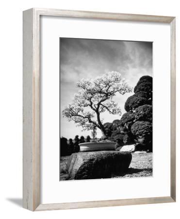 110 Year Old Bonsai Maple Tree on Estate of Collector Keibun Tanaka in Suburb of Tokyo