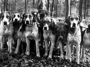 Beagles in the Forest of Fontainebleau by Alfred Eisenstaedt
