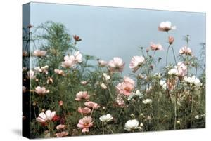 Cosmos Flowers at Beetlebung Corner, Martha's Vineyard, Massachusetts 1960S by Alfred Eisenstaedt