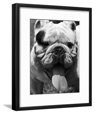 Excellent Close Up of English Bulldog at Morris and Essex Dog Show