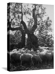 Flock of Sheep under an Olive Tree by Alfred Eisenstaedt