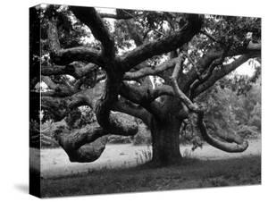 Giant Oak Tree on Martha's Vineyard by Alfred Eisenstaedt