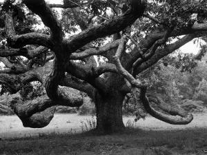 Giant Oak Tree on Martha's Vineyard by Alfred Eisenstaedt